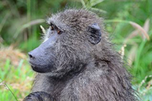 chacma baboon with baby.jpg