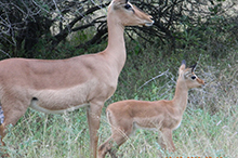 female impala and lamb.jpg