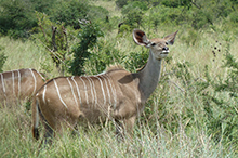 female kudu.jpg