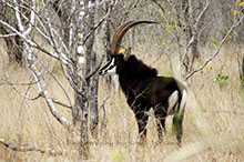 sable antelope central KNP.jpg
