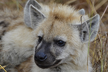 young spotted hyaena.jpg