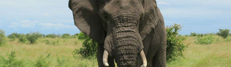 Go on a wildlife safari and view African elephants in the Kruger Park