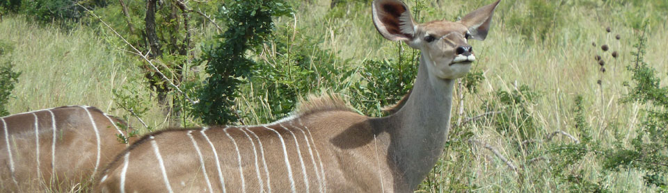 A young female kudu