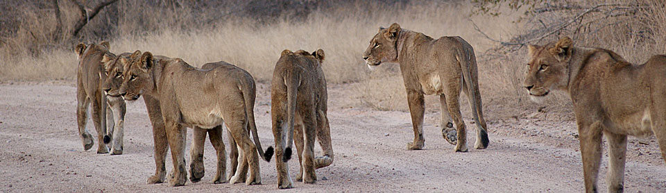 Pride of lions on a dusty African road