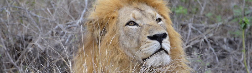 No African wildlife safaris is complete until you have seen a male lion